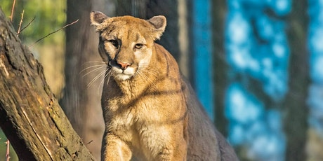 Mountain Lions of the Peninsula and South Bay tickets