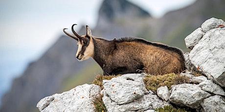 Partez à la découverte du champion de nos montagnes, le Chamois ! billets