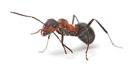 Virtual Nerd Night:  Ants are Awesome tickets