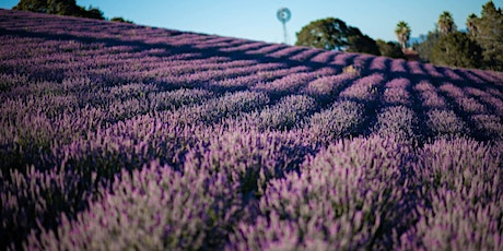 Monte-Bellaria Lavender High-Bloom Season 2020 tickets