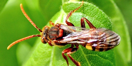 Cuckoo Bees of the North West Webinar tickets