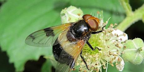 Urban Buzz in Cardiff - Pollinator identification workshop tickets