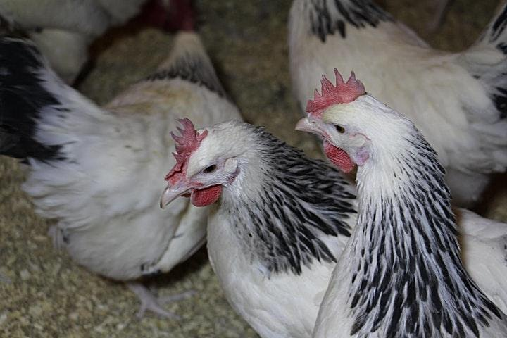 U of A Small Flock Poultry Short Course April 13 & 14 6-8 pm  MDT. image