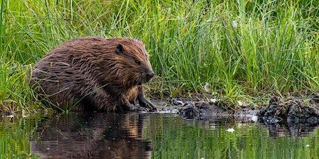 Busy Beavers (Online) tickets