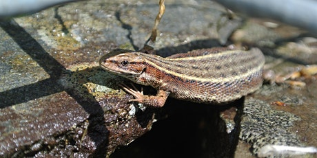 Common Lizard Talk tickets