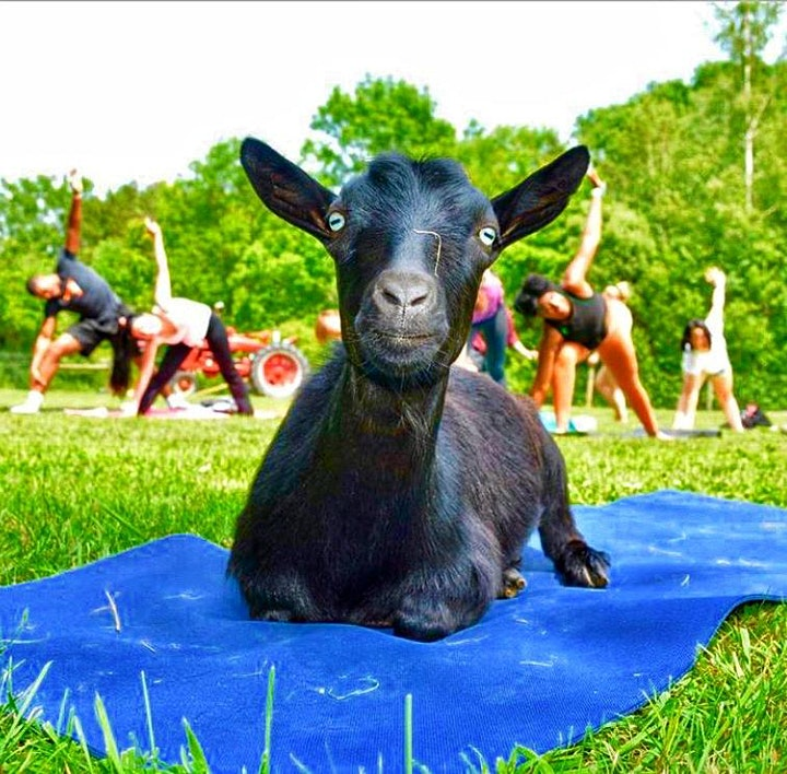 Weekend Goat Yoga at June Farms! image