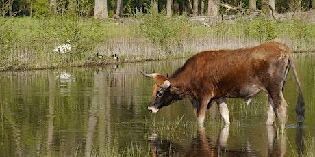 Konik Pferde und Auerochsen im natürlichen Umfeld der Lippeauen Tickets