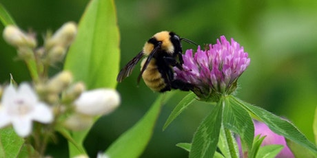 Zooming in on Bees: Wild Bees vs. Honey Bees tickets