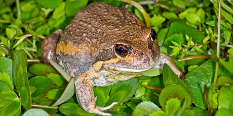 Fantastic Frogs of Boroondara - Melbourne Water Frog Census evening tickets