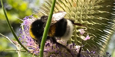 Bumblebee Field Identification Course tickets