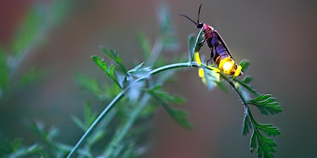Webinar - Firefly Conservation: Getting to Know the Jewels of the Night tickets