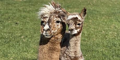 Intro to Alpacas - Husbandry & Handling tickets