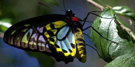 NaturallyGC -Bringing Back the Richmond Birdwing Butterfly tickets