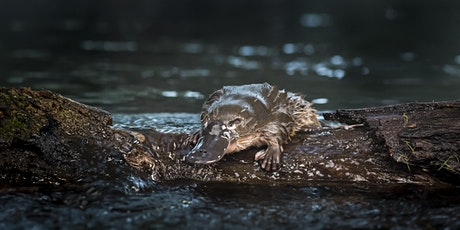 Urban platypuses: threats and challenges tickets