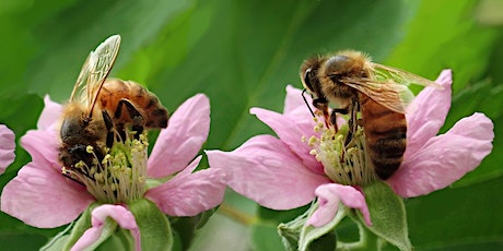 Let's talk about Bees with Dr. Boris Bar July 14 and July 21 tickets