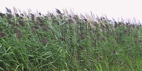Deep in the Reeds:  How to stop the spread of invasive Phragmites tickets