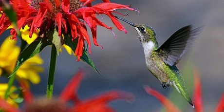 Hummingbirds in your Garden - Presented by Cornell Cooperative Extension Tickets