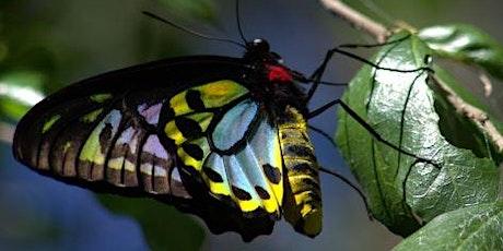 NaturallyGC Facebook Live:  Richmond Birdwing Butterfly tickets