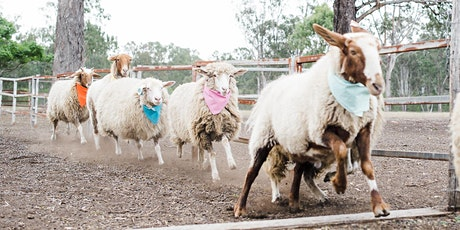 Towri Melbourne Cup Sheep Races tickets