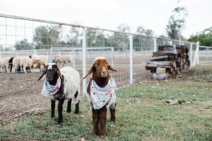 Towri Melbourne Cup Sheep Races image