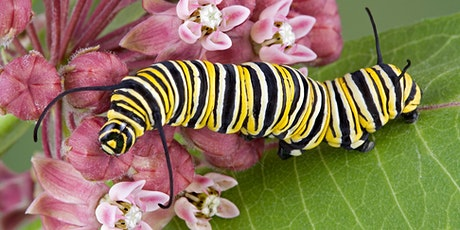 FREE* Monarch Butterfly Larva Pick Up *Free with paid admission/membership tickets