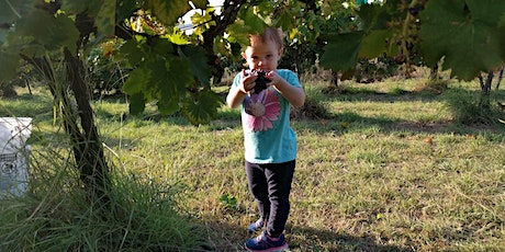 Likely Cabernet Sauvignon harvest 2020 tickets