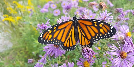 Webinar: How Everyone Can Contribute to Monarch Butterfly Conservation entradas