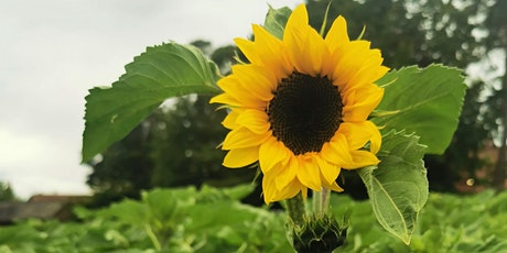 Sunny Sunflowers in Downton in aid of the Stars Appeal tickets