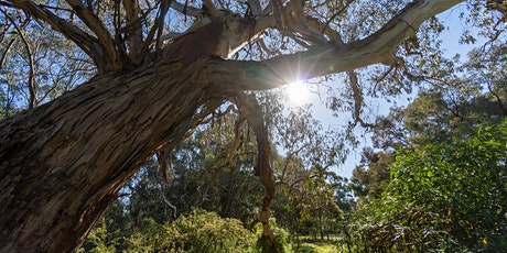 Eucalypts of North East Melbourne - webinar tickets