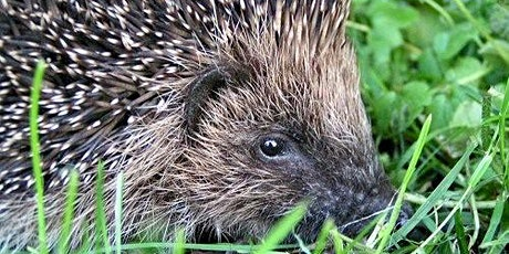 Hedgehogs in our gardens tickets