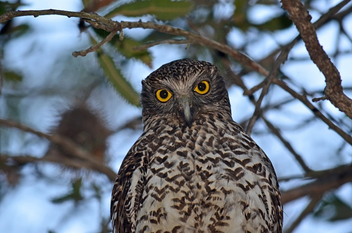 Helping Powerful Owls Through Citizen Science image