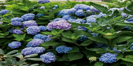 Hydrangea Care and Cultivation tickets