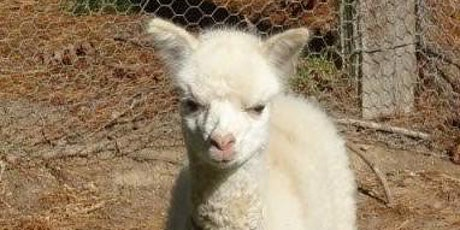 Alpaca Shearing Day, Tuesday 24th November 2020, plus before and after tickets