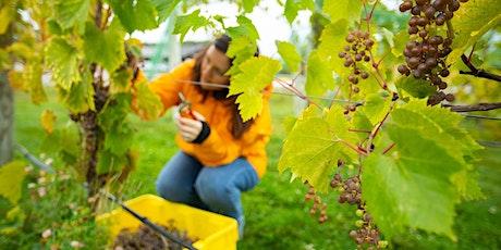7 Vines Vineyard Grape Harvest 2020 tickets