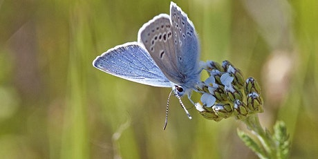 Webinar: Gardening for San Francisco's Butterflies and Pollinators tickets