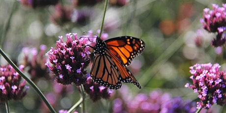 Videoconference Course: Amazing Monarchs! tickets