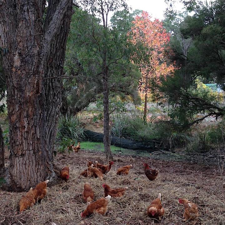 The basics to Backyard Chickens! image