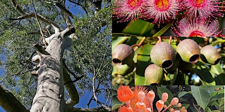 Remnant River Red Gums – A guided walk – Adelaide Botanic Garden tickets