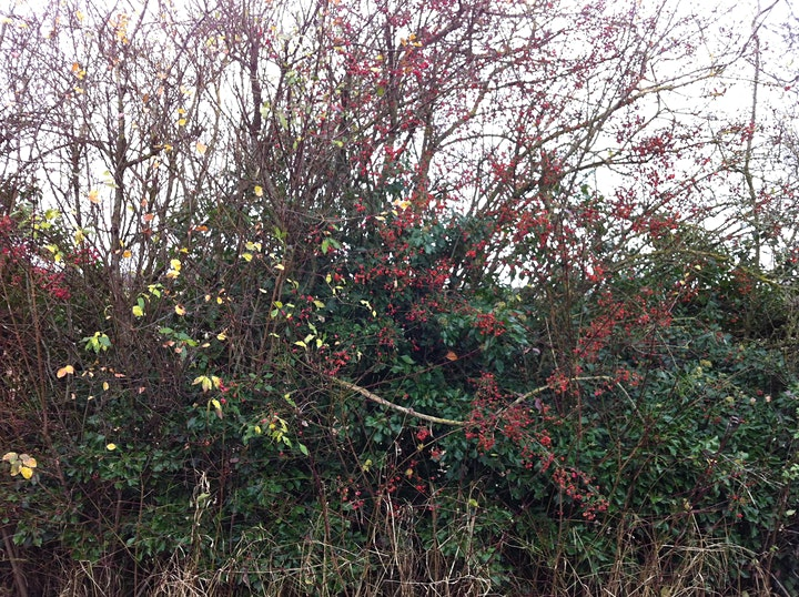How to survey and assess hedgerows using the Hedgerow Regulations ONLINE image