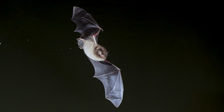 Bats for Beginners - A Guided Walk tickets