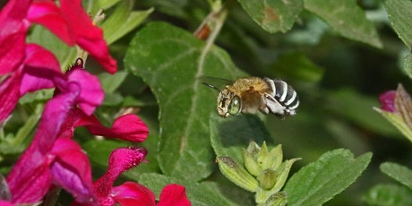 Attracting Native Bees and Butterflies tickets