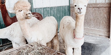 Alpacas and Yoga (round 2) tickets