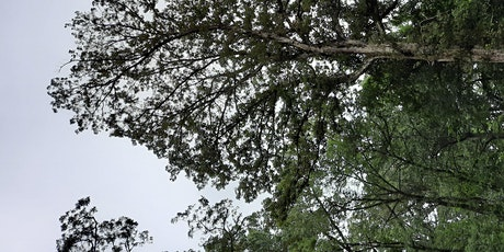 Oak Decline Diseases: Identify and Treatment Approaches