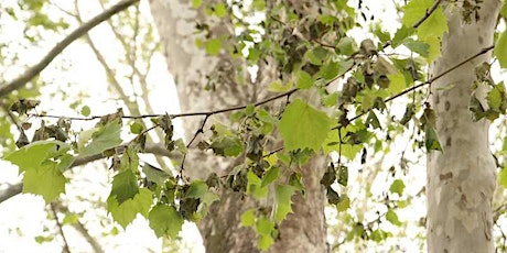 Sycamore Anthracnose - What it is and how to treat it!
