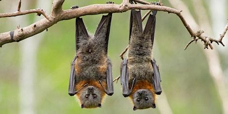 Grey-headed Flying-fox Bat Ramble tickets