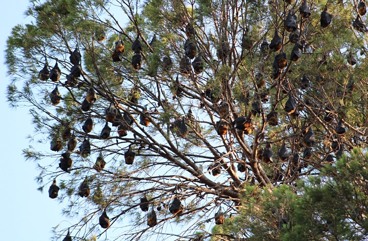 Grey-headed Flying-fox Bat Ramble image