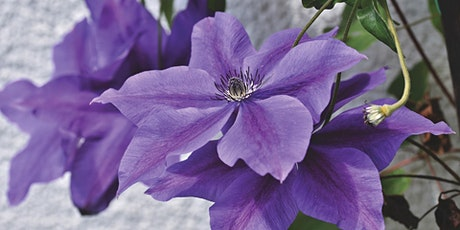 Gardening with Clematis  - Vines on the ground tickets