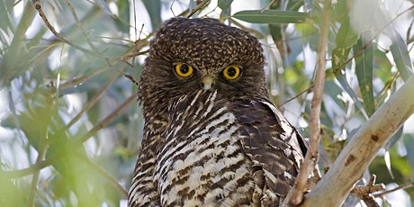 Powerful Owl: meet a Parramatta River mascot - from a distance! tickets