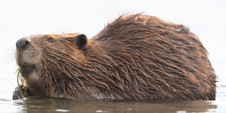 Living with Beavers - Friends of Fish Creek Beaver Awareness Day tickets