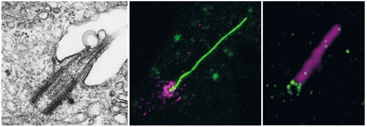 BSCB GenSoc UK Cilia Network e-Symposia Series image